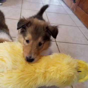 Collie puppy carrying plush toy in mouth