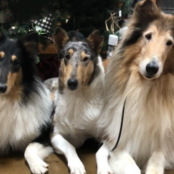 Three collie dogs sitting together