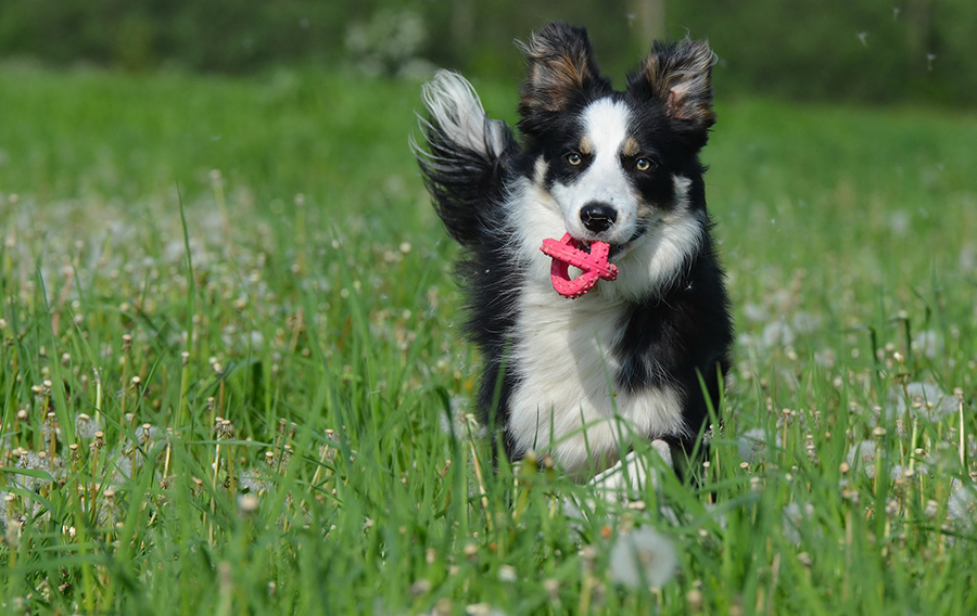 Collie running with ball in mouth