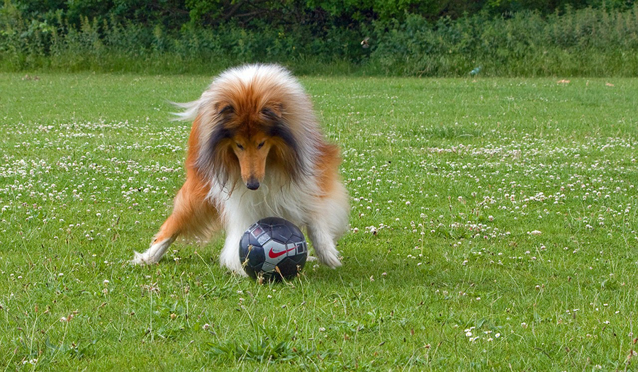 Collie dog playing with ball