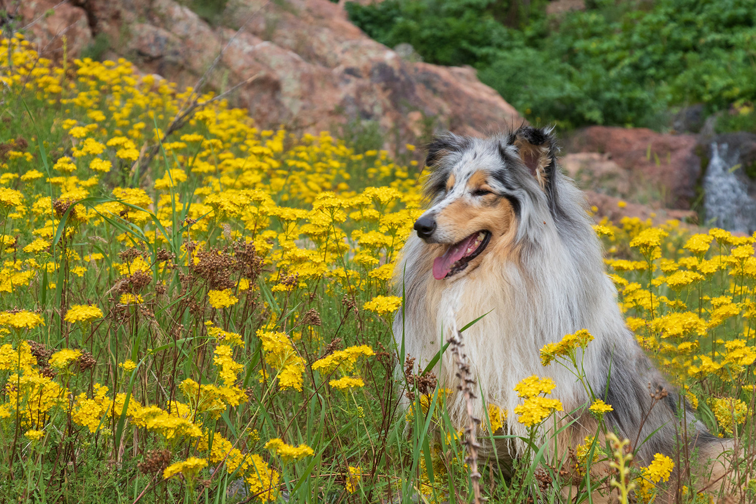 Collie dog in field of yellow flowers